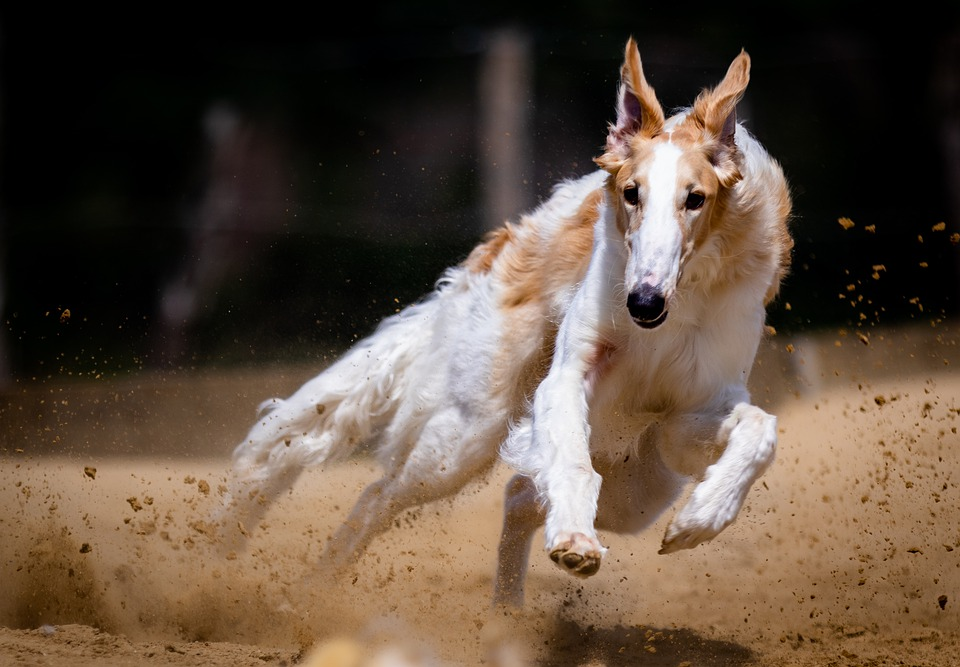 Dog, Canine, Race, Run, Running, Dog Racing
