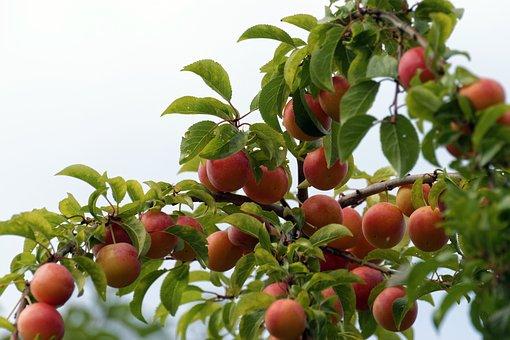Früchte, Rot, Orange, Baum, Zweig