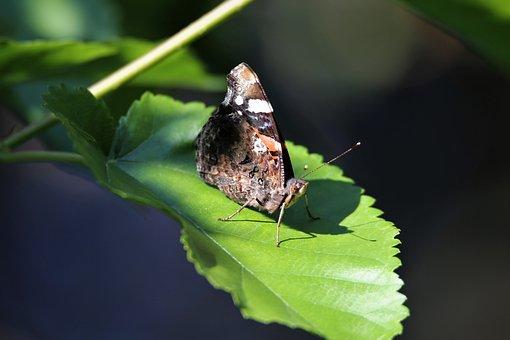 Schmetterling, Flügel, Blatt, Ruhend