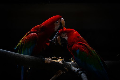 Papagáj, Ara Papagáj, Madár, Állati - krónika