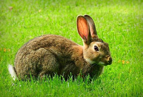 กระต่าย, สัตว์, เลี้ยงลูกด้วยนม