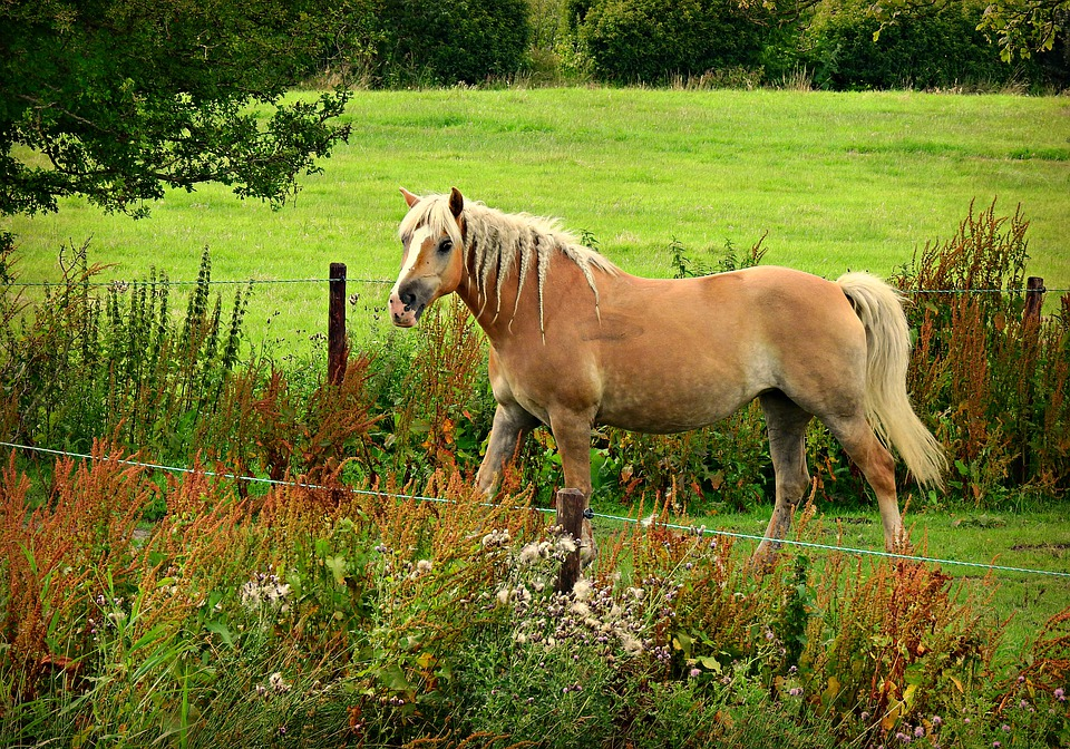 Horse, Animal, Mammal, Haflinger, Mane, Tail, Mare