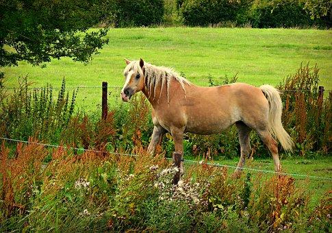 Horse, Animal, Mammal, Haflinger