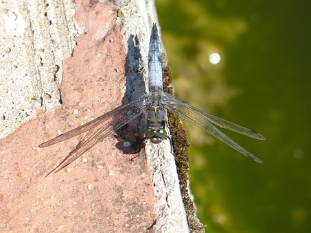 Dragonfly, Wings, Insect, Pond, Raft