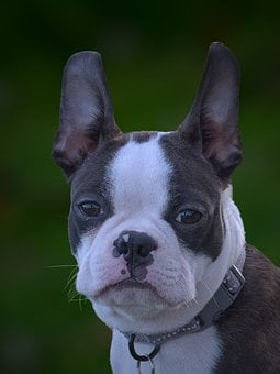 Dog, Canine, Domestic, Boston Terrier