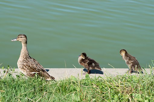 Die Ente, Vögel, Gefieder, Die Grenze
