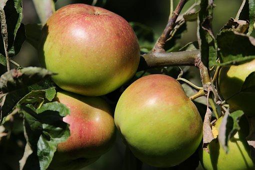 Äpfel, Baum, Zweig, Obst, Lebensmittel