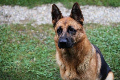 Hund, Deutscher Schäferhund, Haustier