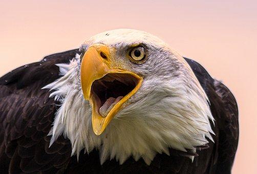 Bald Eagle, Bird, Bird Of Prey, Raptor