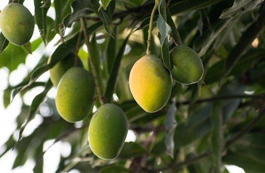 100+ Gambar Pohon Mangga & Mangga Gratis - Pixabay
