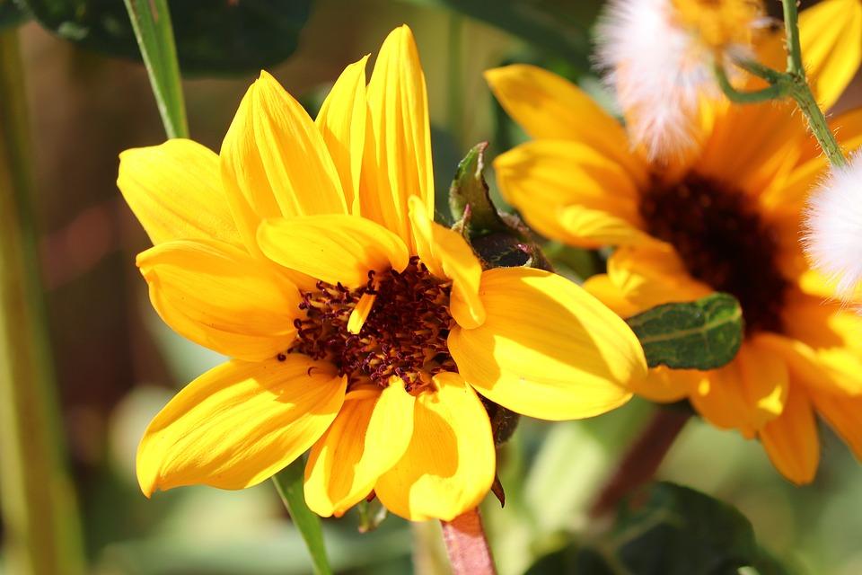 Bunga Matahari Liar Kuning Foto Gratis Di Pixabay
