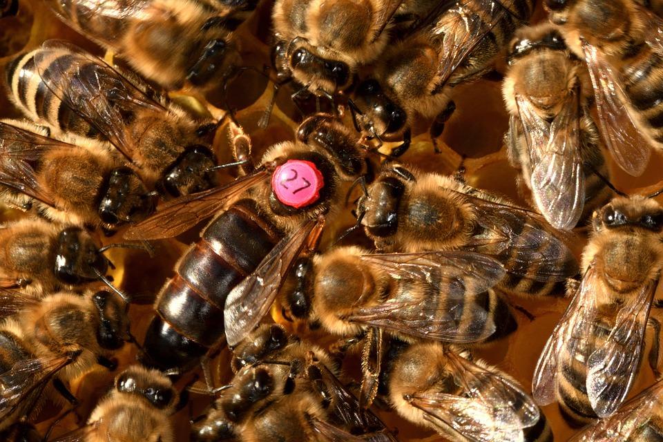 Reine Des Abeilles, Les Abeilles, Insectes, Abeilles
