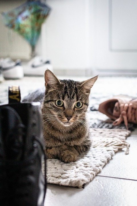 Котка, Котешки, Седи, Килим, Фокусирана, Скумрия, Mieze