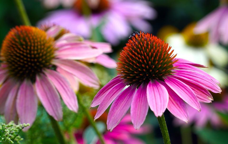 Bunga Bunga, Echinacea, Kelopak, Batang, Mekar, Bloom
