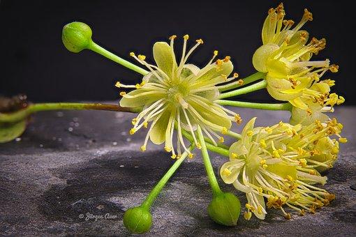 Árbol, Planta, Flor, Tila, Primavera