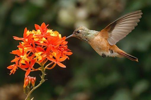 Hummingbird, Bierds, Beak, Feathers
