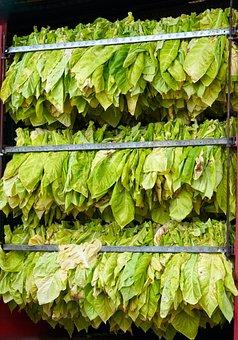 Tabac, Récolte, Feuilles, Palatinat