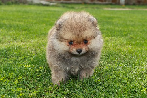 Pomeranian Puppies For Sale in Virginia