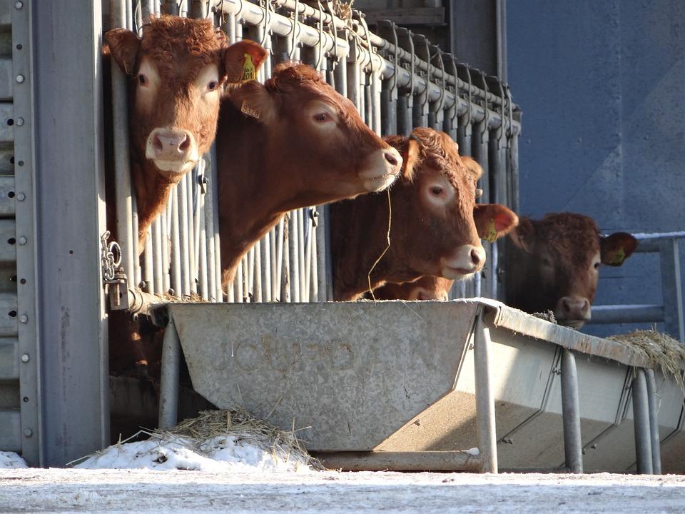 Kühe, Cattles, Bauernhof, Landschaft, Tiere, Säugetier