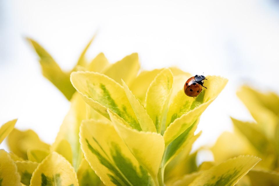 てんとう虫、昆虫、葉、てんとう虫カブトムシ、カブトムシ