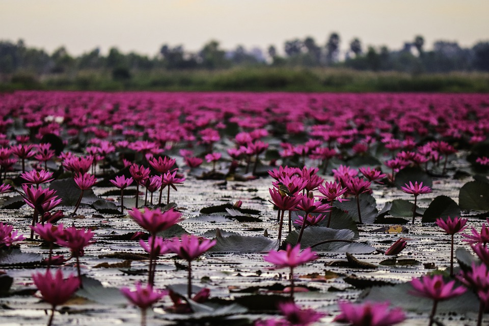 Lake, Flowers, Lotus, Water Lilies, Lily Pads, Leaves