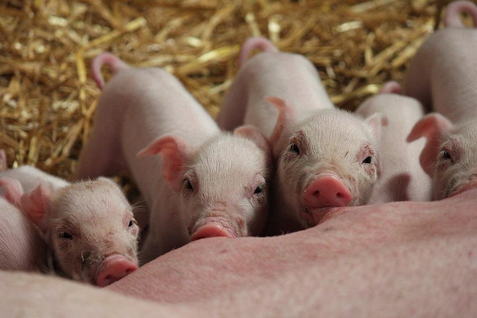 子豚, 豚, ファーム, 哺乳動物, 動物