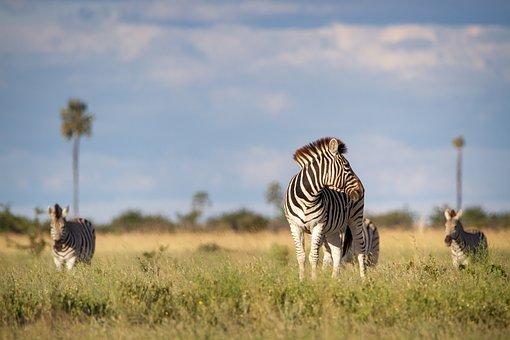 Zebra, Africa, Field, Family, Animals