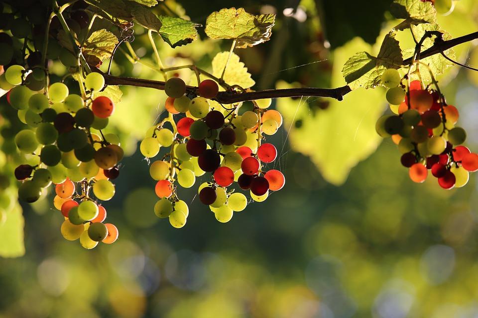 Winogrona Izabella, Winogrona, Winorośl, Dojrzewanie