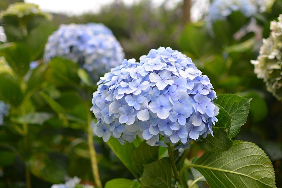 Hydrangea, Blue Flowers, Flowers, French Hydrangea