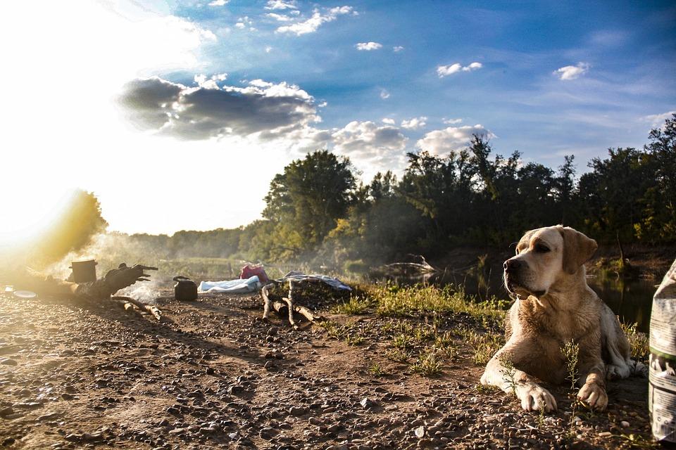 Labrador, River, Dog, Canine, Water, Animal, Pet