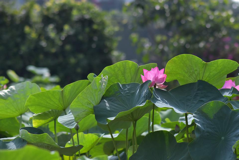 Bunga Tanaman Teratai Foto Gratis Di Pixabay