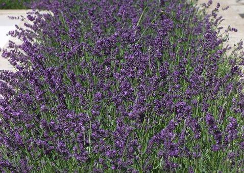 Lavanta, Karabaş, Çiçek Deniz, Herb