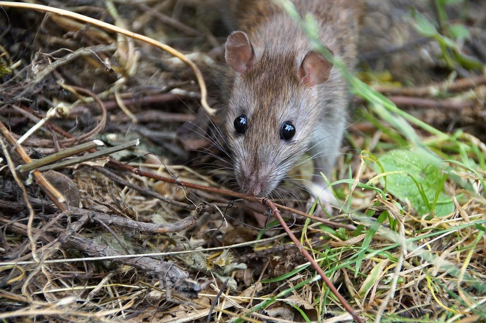 Tikus Mouse Hewan Pengerat Foto Gratis Di Pixabay