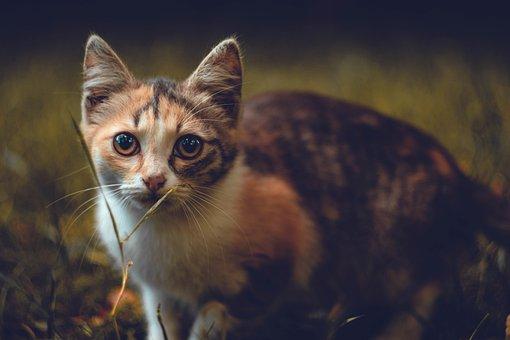Cat, Calico Cat, Pet, Animal