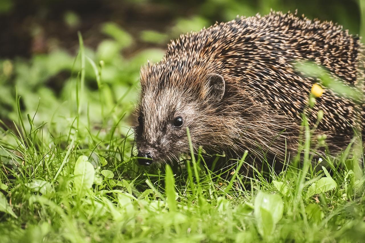 Woodland Hedgehog