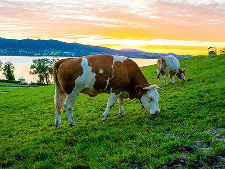 Vaca, Carne De Vacuno, Vacas, Pastos