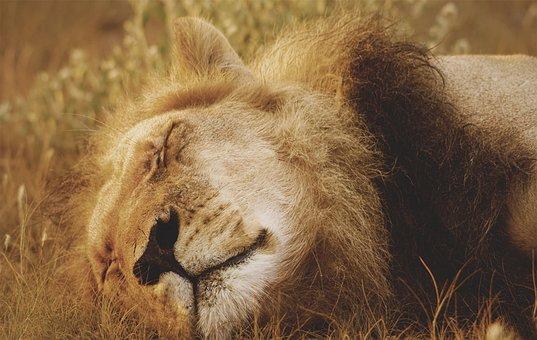 Lion, Feline, Cat, Wild, Mane, Mammal