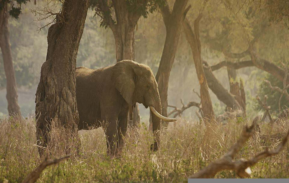 Elephant, Tusks, Forest, Trees, Grass, Animal, Mammal