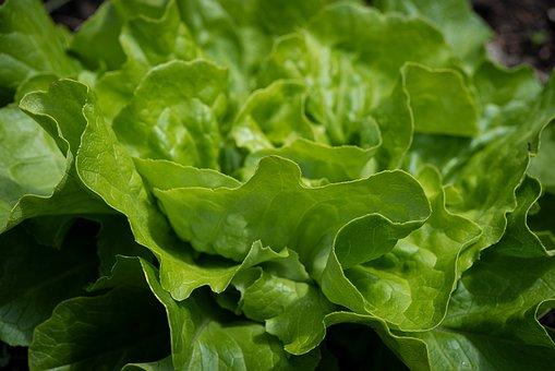 Lettuce, Green, Lettuce Leaves, Produce