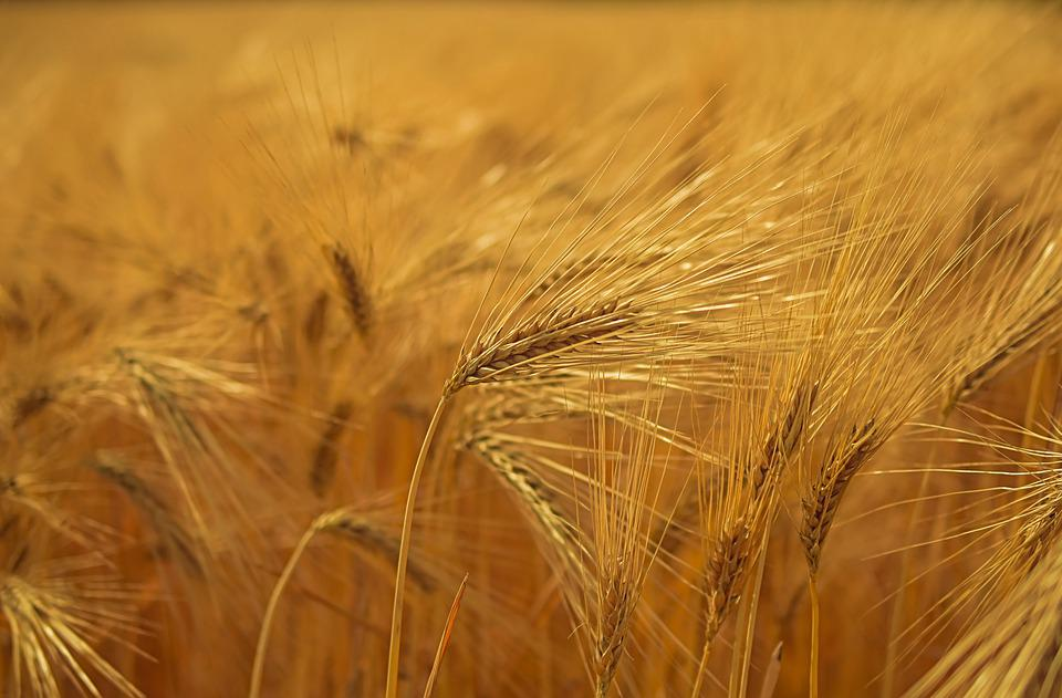 Wheat crop; ready to harvest