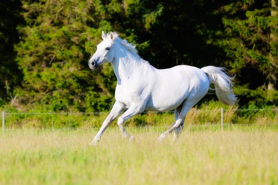 Horse, White Horse, Animal, Mammal, Equine