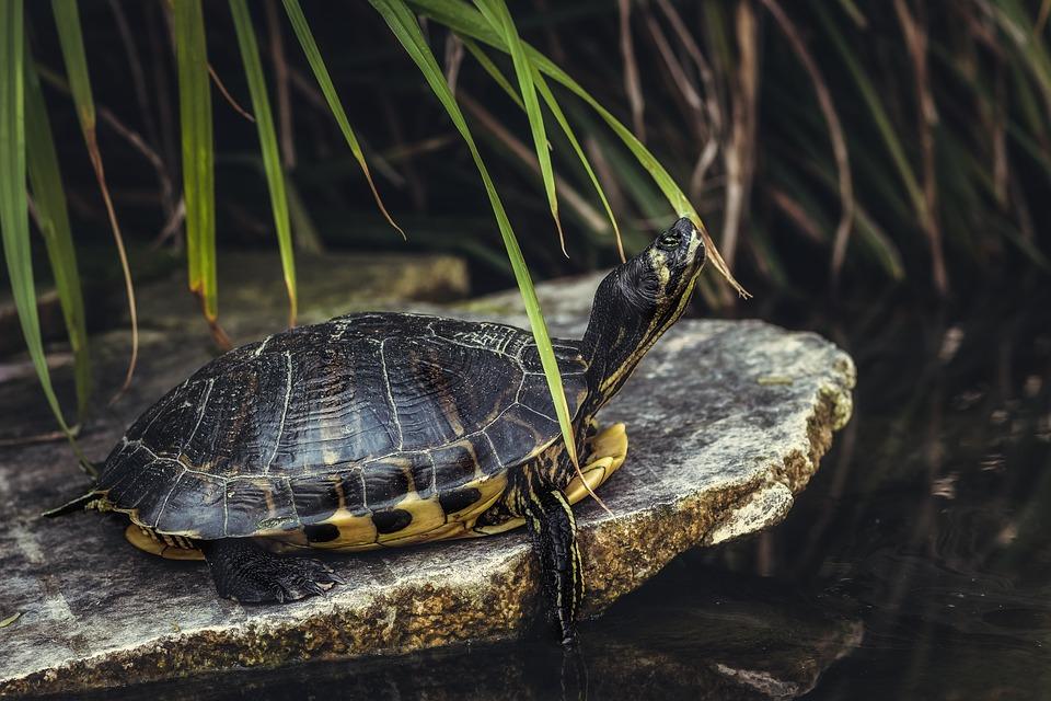 Schildpad, Reptiel, Vijver, Dierlijke