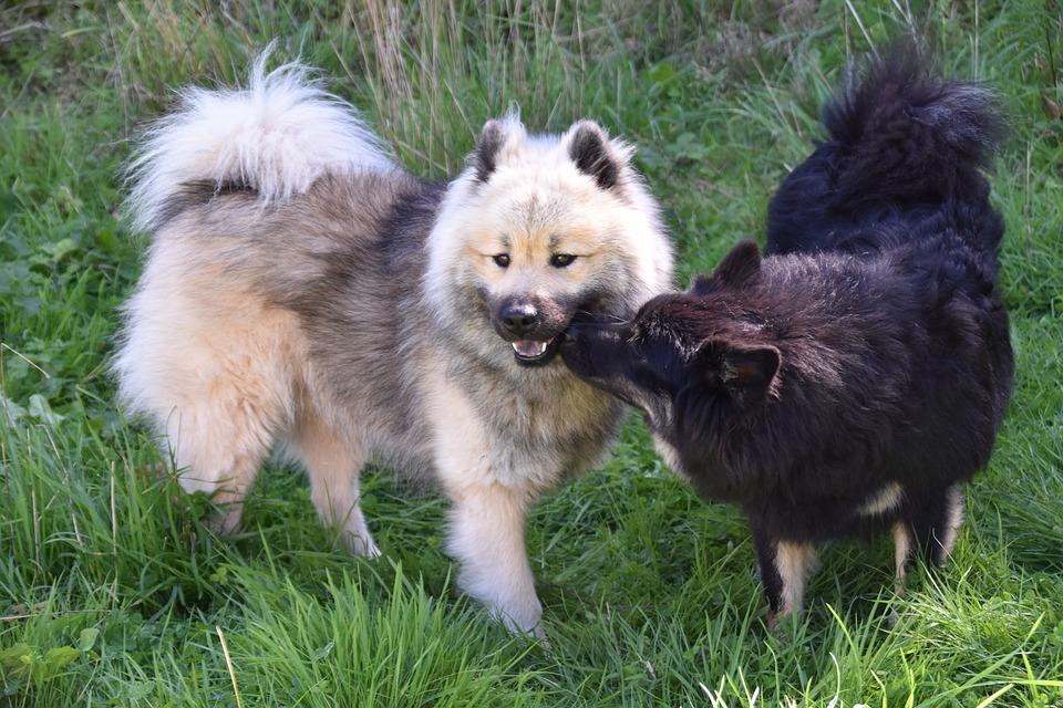 chien qui renifle une femelle
