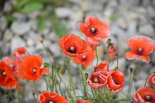 Peste 600 de imagini gratuite cu Maci Rosii și Natura - Pixabay