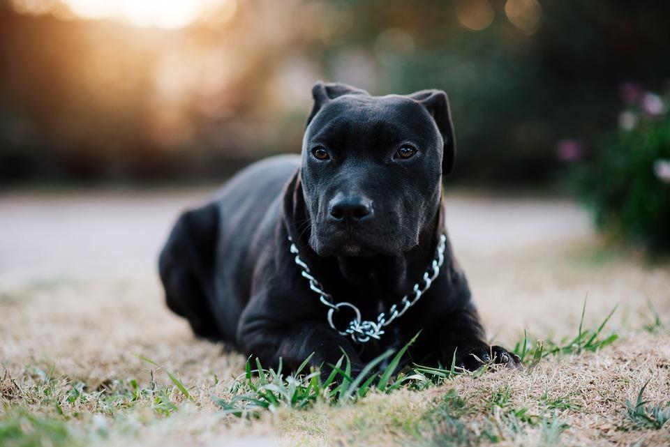 Pitbull negro