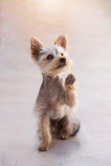 Teacup Yorkie Poo Puppies for sale in Mississippi