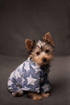 West Virginia Teacup Yorkies, Yorkie, Yorkshire Terrier Friendly Dog