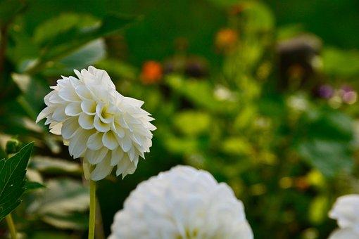 Dahlia Pompon Fotos Unduh Gambar Gratis Pixabay