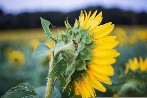 sunflowers-5579060__340.jpg