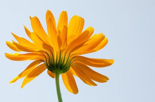 マリーゴールド, 花, 黄色の花, 花びら, フローラ, 自然, 植物